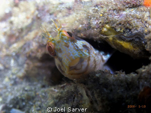 Little blenny in a bottle with a big smile!